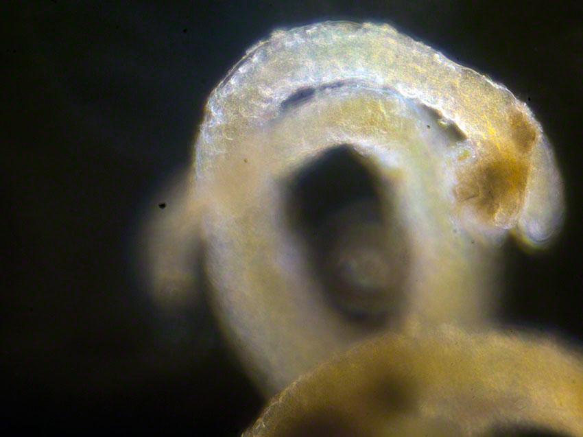 Bostrichia scorpioides