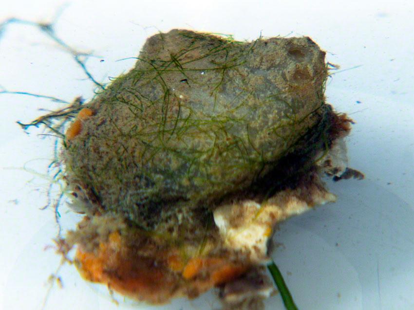 Molgula manhatensis