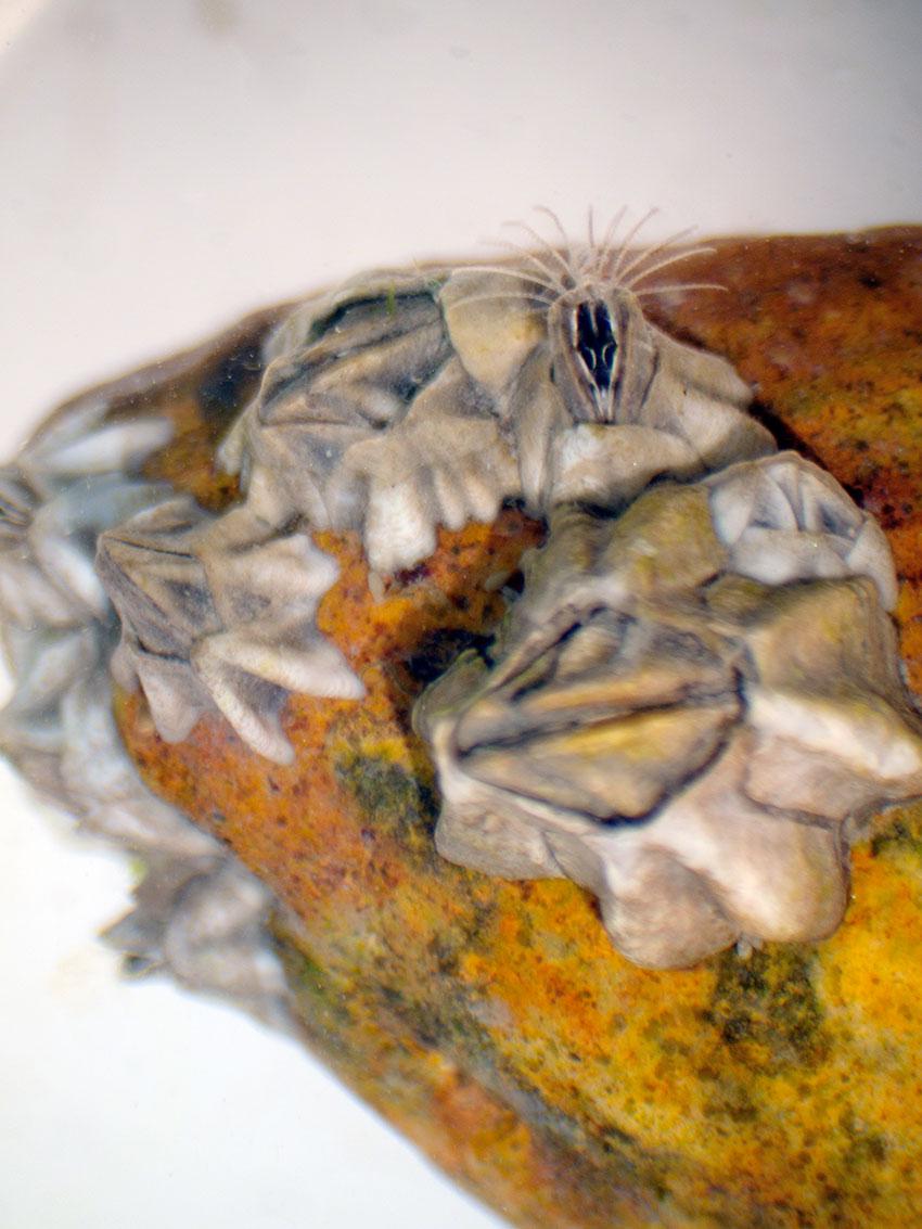 Austrominius modestus