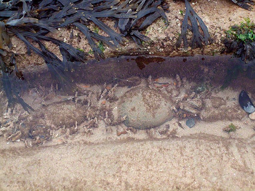 Tubes of sandmason worm, Lanice conchilega in sandy gulley