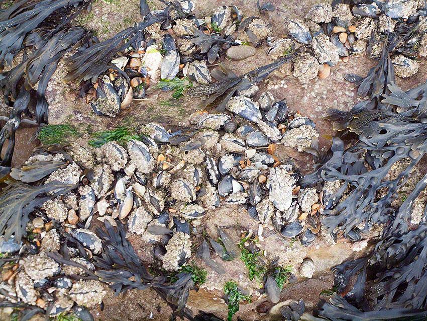 Blue/edible mussels: Mytilus edulis on platform
