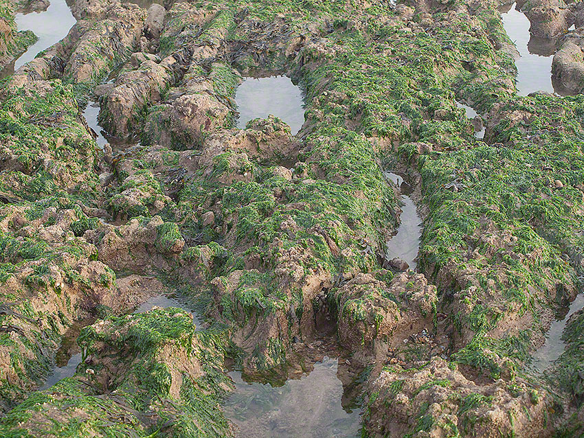 Bexhill: rock pool with algae