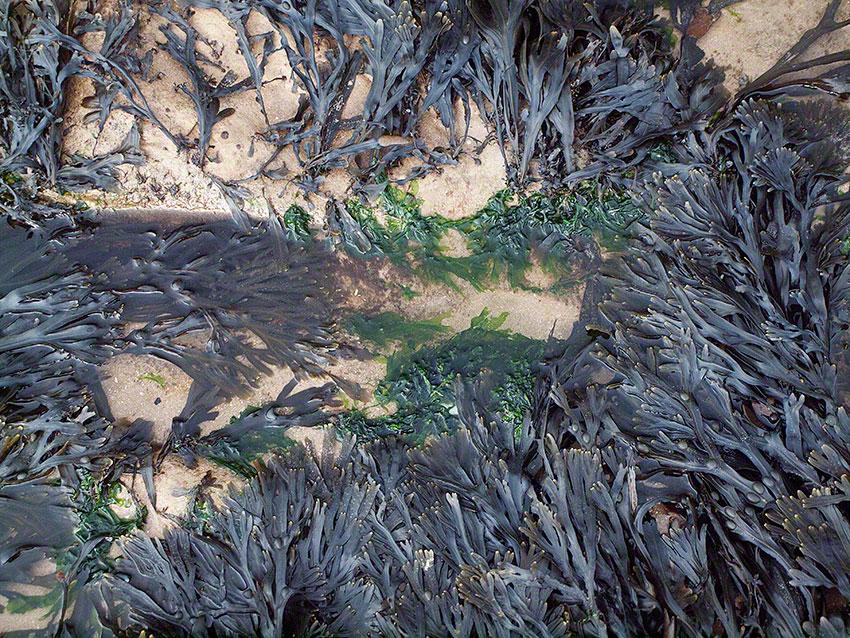Serrated wrack: Fucus serratus on gully walls and platform