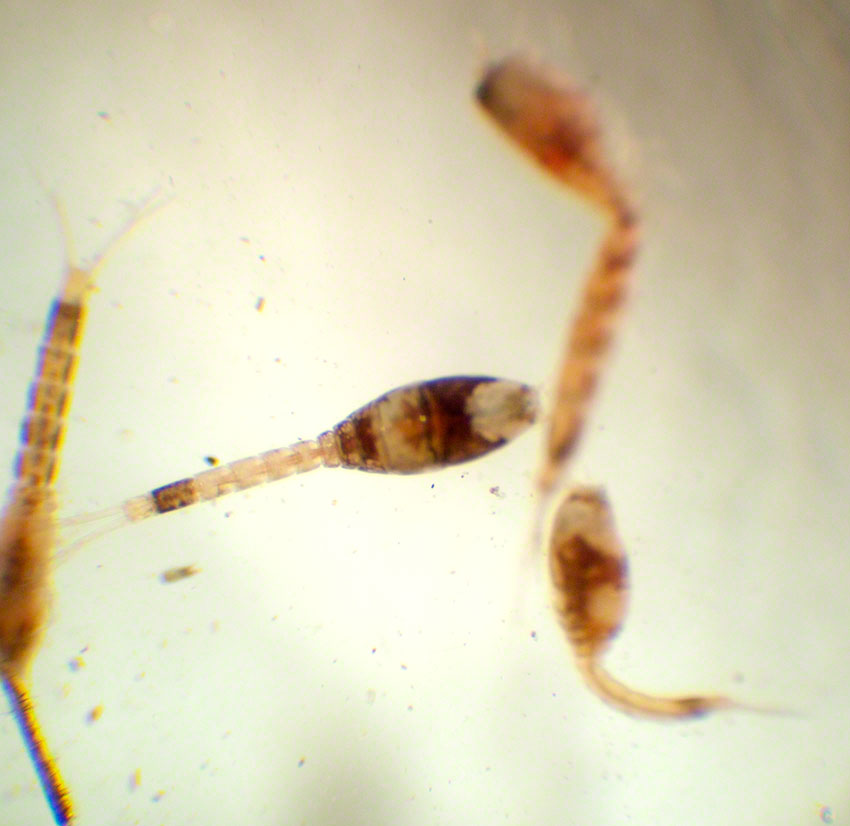 Cumacean, hooded shrimp