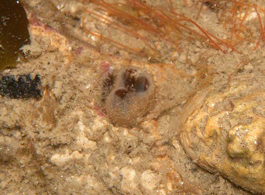 Siphons of piddock Pholas dactylus