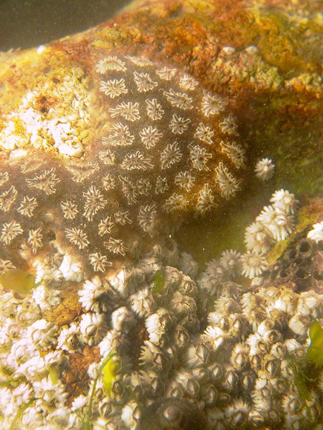 Tunicate Botryllus schlosseri