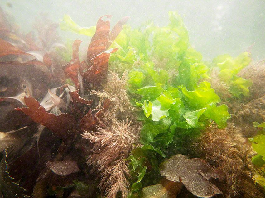 Rock pool with various sea weeds, sea lettuce Ulva lactuca, Dulse Palmeria palmata, slender coral weed Jania rubens, coral weed Corallina officinalis