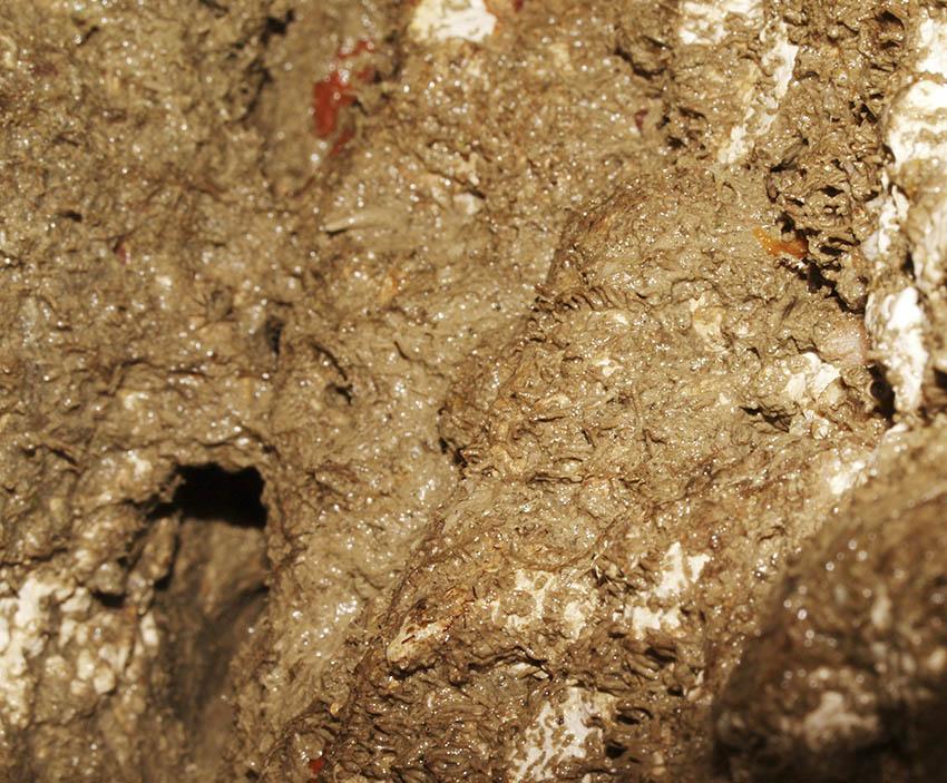 Tubes of the amphipod Jassa falcata among sand-binder, Rhodothamniella floridula