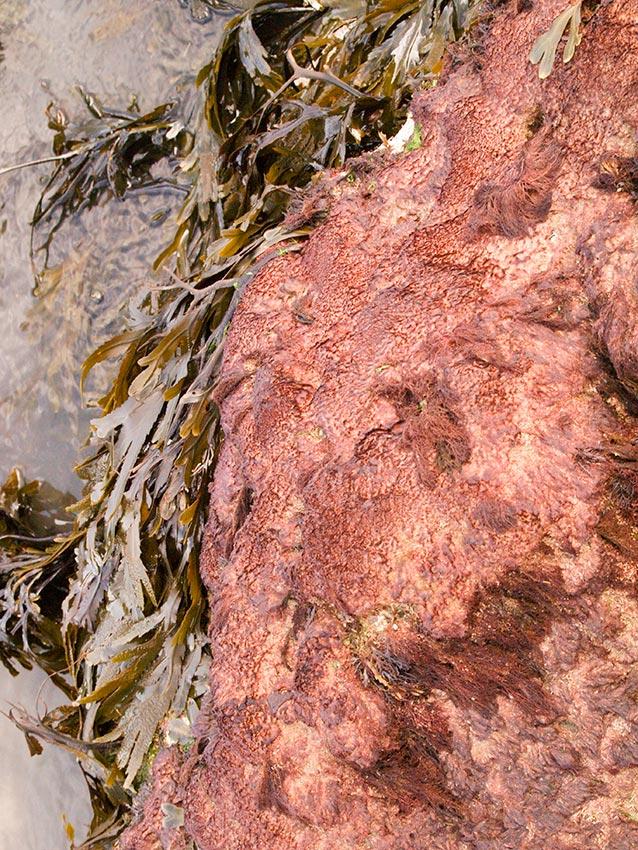 Carpet of sand-binder, Rhodthamniella floridula on ridge between gullies.