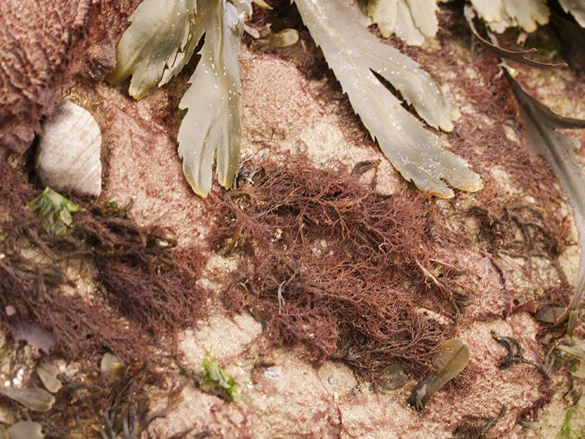 Sand-binder, Rhodothamniella floridula on gully ridge.