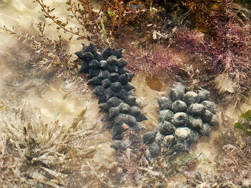 Cuttlefish Sepia officinalis egg-mass on wire weed Sargassum muticum in the main lagoon