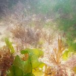 Shallow rock pool with mixed seaweeds