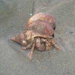Hermit crab, Pagurus bernhardus