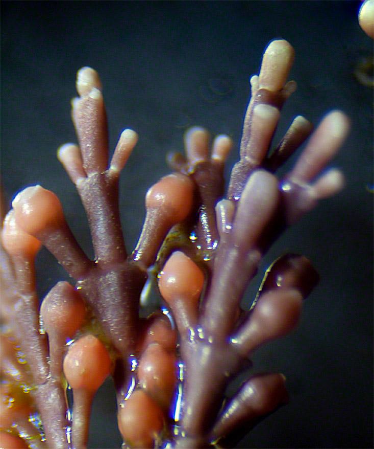 Coral weed, Corallina officinalis
