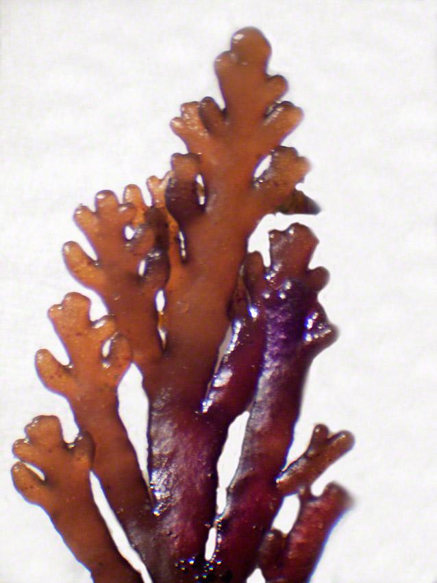 Laurencia pinnatifida